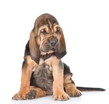 Bloodhound Puppy Looking Away....