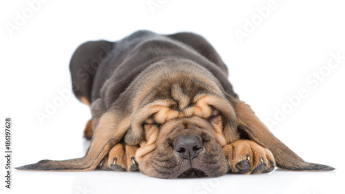 Sleeping bloodhound puppy. isolated on white background Canvas Print