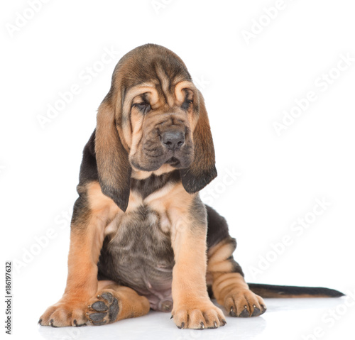 Fotografie, Tablou Bloodhound puppy looking away. isolated on white background