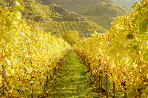 Fotografía  Blick durch Goldgelbe Weinstöcke zum Weinberg, in der Nähe von Beilstein