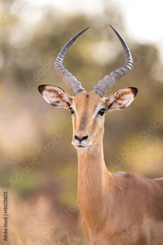 Photo Stands Antelope Impala