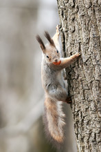 Fluffy Funny Funny Squirrel Climbs A Tree With A Nut In His Teeth