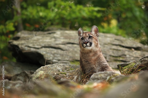 Photo  Cougar is the largest feline of North America.