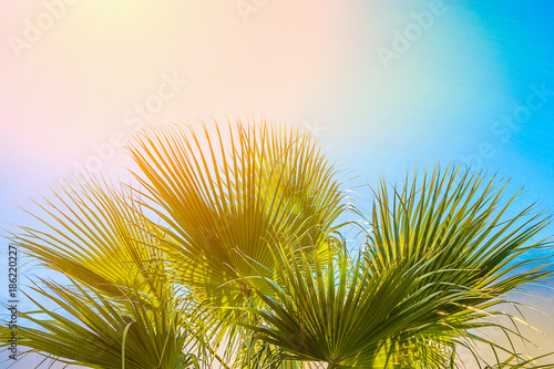 Frame From Large Round Spiky Palm Tree Leaves On Clear Blue Sky Background Golden Pink