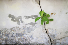 Small Plants Grown Up From The Cracked Concrete Wall Background