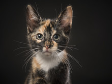 Portrait Of A Tortoiseshell Kitten Looking At The Camera On A Black Background