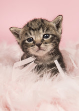 Cute Five Weeks Old Tabby Baby Cat In Pink Feathers On A Pink Background Looking At Camera