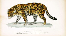 Illustration Of Panther