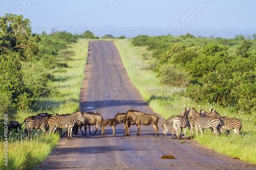 Poster Afrique du Sud Blue wildebeest and Plains zebra in Kruger National park, South Africa