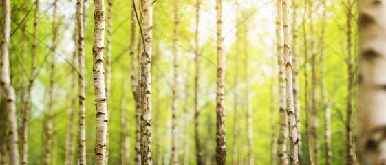 las brzozy w świetle poranka z promieni słonecznych
