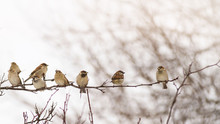 Flock Of Sparrows Perched On A...