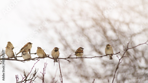 Spoed Foto op Canvas Vogel Flock of sparrows perched on a branch in the winter singing to themselves; Group of small birds sitting in a row on a branch