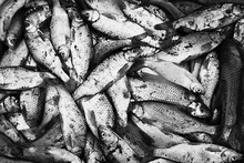 Fresh Fish Just Been Caught From The Sea Stock Photo
