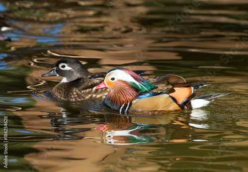 Female Wood Duck And Male Mandarin Swimming Across A Pond