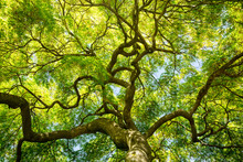 Green Maple Tree Canopy