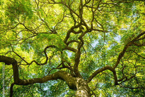 green maple tree canopy Fototapeta