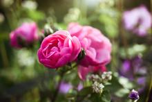 Rose 'Angela' In A Secret Garden