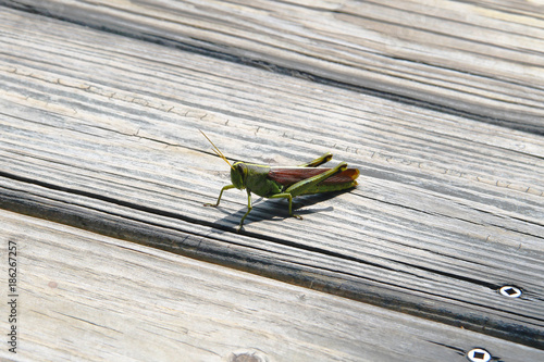 Photo Green and Brown Obscure Birdwing Grasshopper on Boardwalk Path