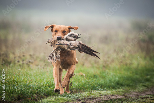 Photo sur Toile Chasse Hunting Labrador Retriever