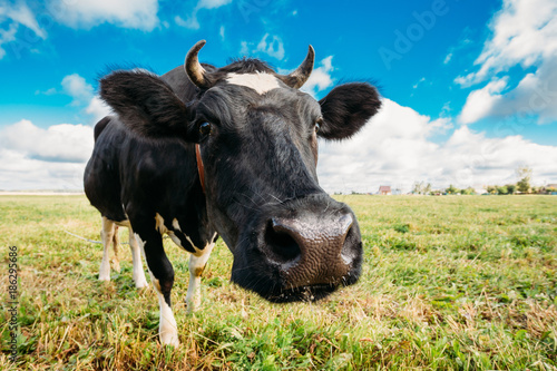Fotografía Close Up Of Cow In Meadow Or Field With Green Grass In Mouth.