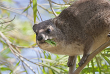 Southern Tree Hyrax (Dendrohyr...