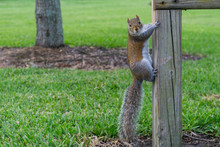 USA, Florida, Brown Squirrel W...