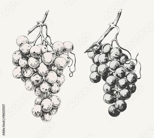 Vintage illustration of two ink drawn vine grapes  Fototapete