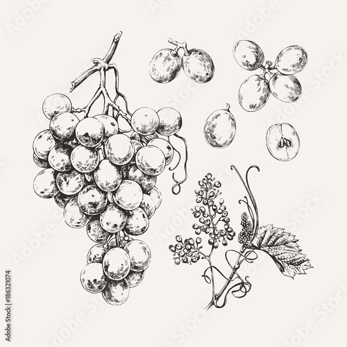 Vintage illustration of ink drawn sweet white grape Billede på lærred