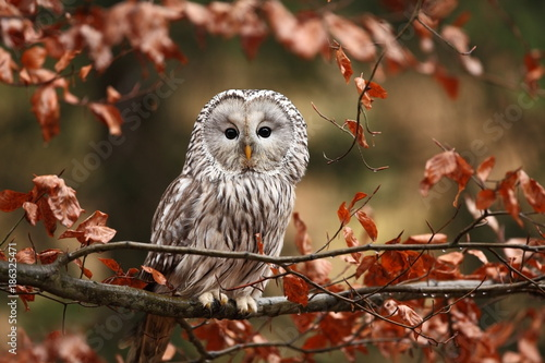 Naklejki Sowa   he-lives-in-europe-and-asia-on-the-czech-territory-only-occurs-very-rarely-in-the-area-of-the-beskydy-mountains-and-the-bohemian-forest-and-bohemian-forest-strix-uralensis