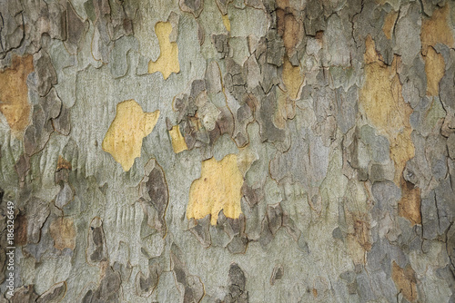Aluminium Prints Old dirty textured wall Platanus x acerifolia
