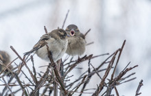 Two Sparrows On A Bush In The ...