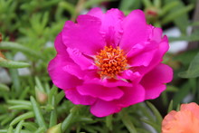 Vygie Flower