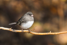 Dark-eyed Junco (Junco Hyemali...