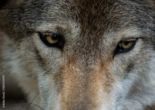 Canvas Prints Wolf Gray Wolf eyes