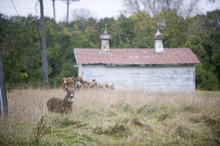Buck Standing In A Field