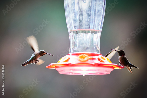 Hummingbirds Fototapet