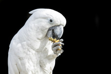 Cockatoo Parrot Eating From It...
