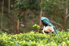 Teeproduktion Und Teepflücker...