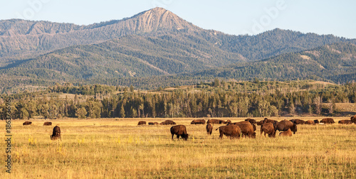 Canvas Prints Bison Herd of Bison grazing in the plains in the Grand Teton National Park, WY, USA
