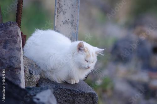 Deurstickers Canarische Eilanden Domestic cat (Felis catus). Degollada del Aserrador. The Nublo Rural Park. Tejeda. Gran Canaria. Canary Islands. Spain.