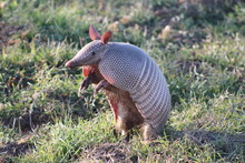 Armadillo Standing On His Hind...