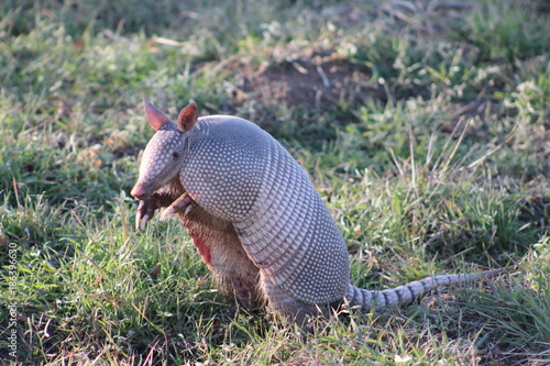 Armadillo standing on his hind legs looking forward Wallpaper Mural