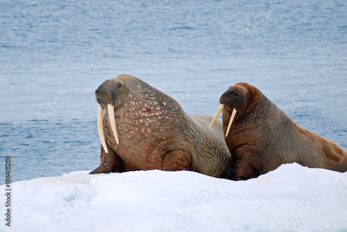 Two walruses on snow winter island in Arctic Svalbard Spitsberg