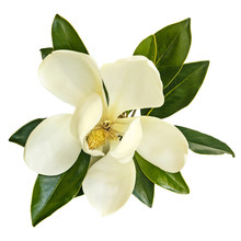 Magnolia Flower Top View Isolated On White