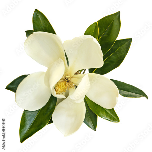 Fotobehang Magnolia Magnolia Flower Top View Isolated on White