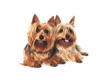 Two Australian Silkie Terriers...