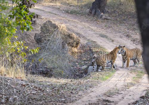 Photo  Two Bengal Tiger, ( Panthera tigris ) play fighting, face to face, Bandhavgarh N