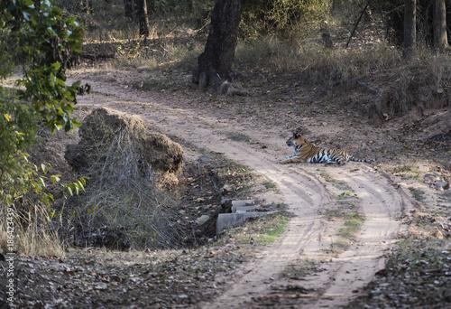 Bengal Tiger, ( Panthera tigris ) lying down in road, looking left Wallpaper Mural