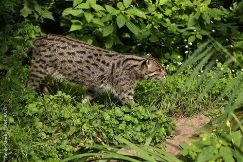 Fotografija Beautiful and elusive fishing cat in the nature habitat near water