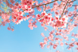 Beautiful sakura flower (cherry blossom) in spring. sakura tree flower on blue sky.
